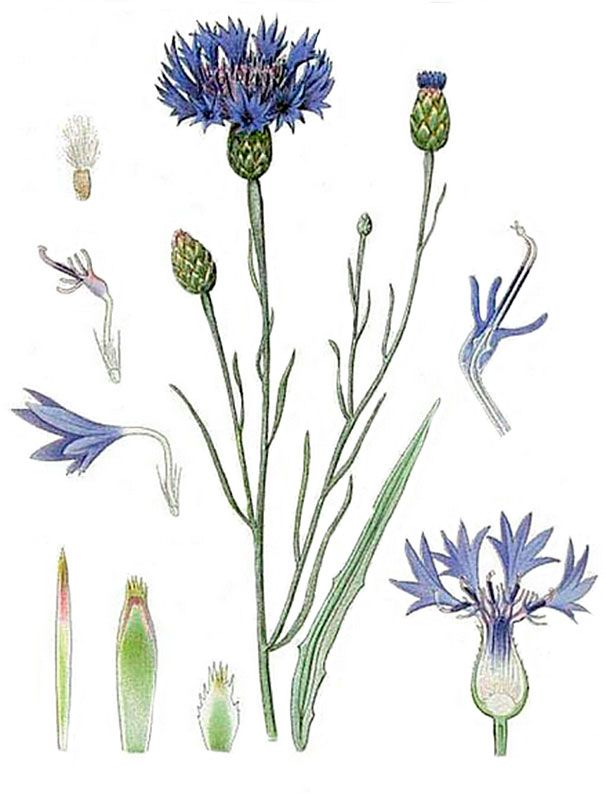 Василек синий (лат. Centauréa cyánus)