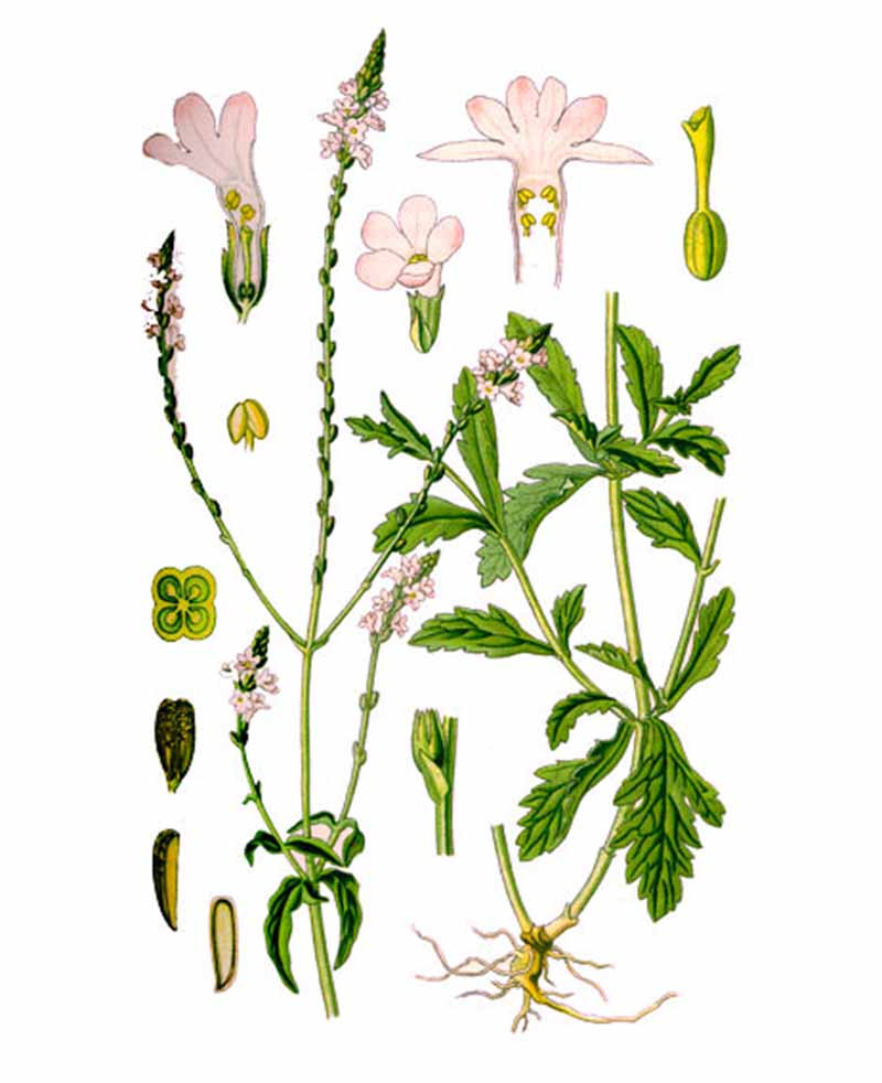 Вербена лекарственная (лат. Verbéna officinalis)