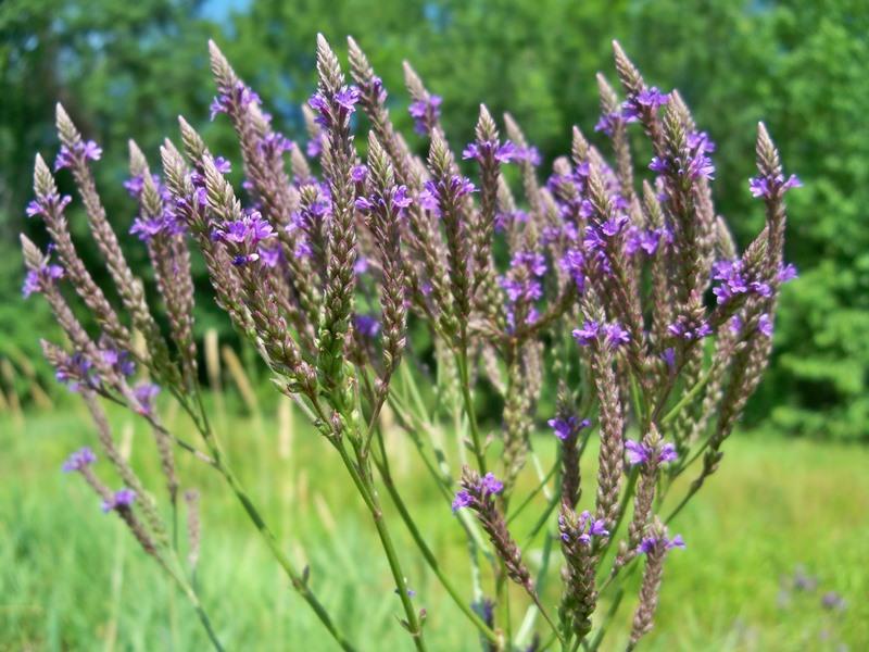 Вербена лекарственная (лат. Verbéna officinalis)