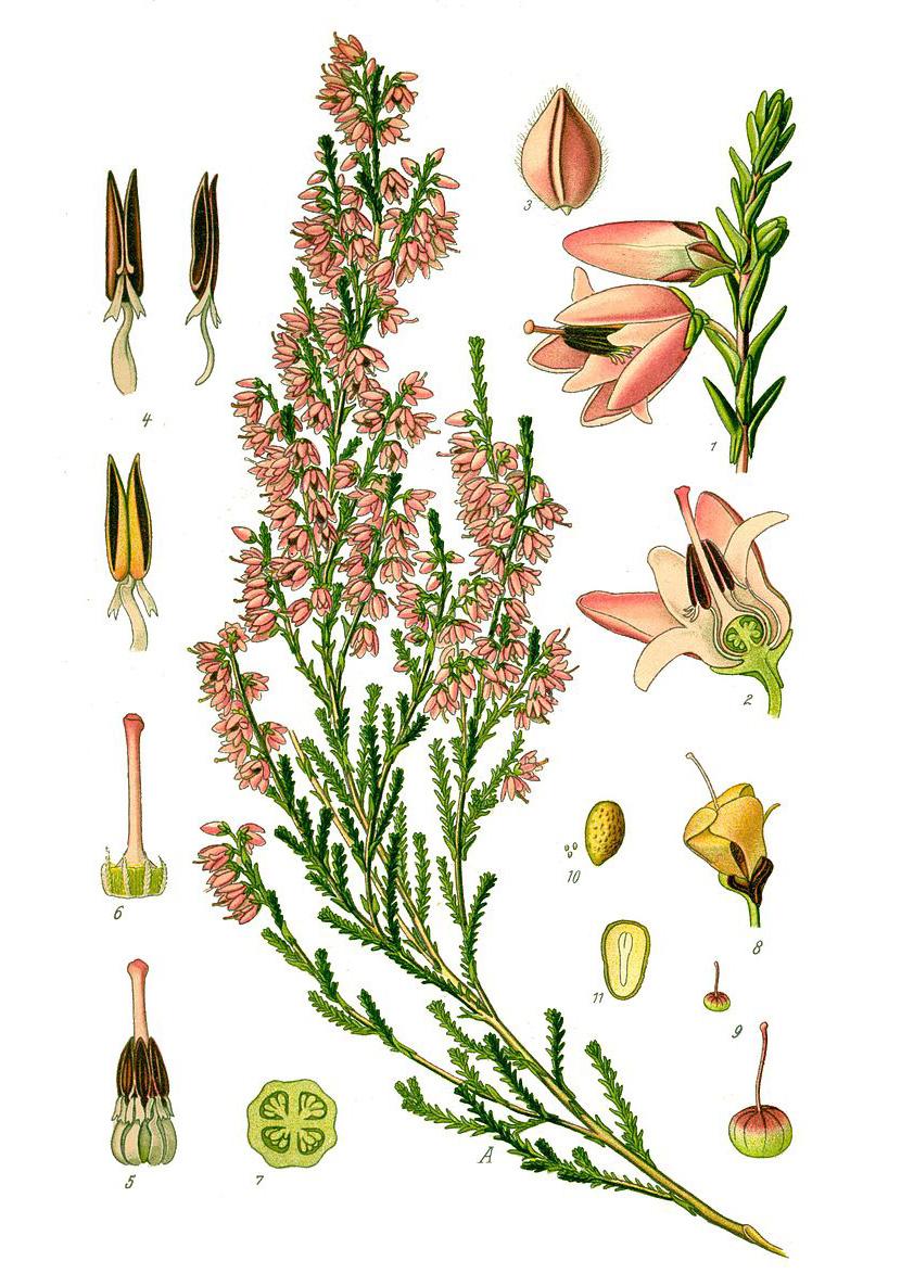 Вереск обыкновенный (лат. Callúna vulgáris)