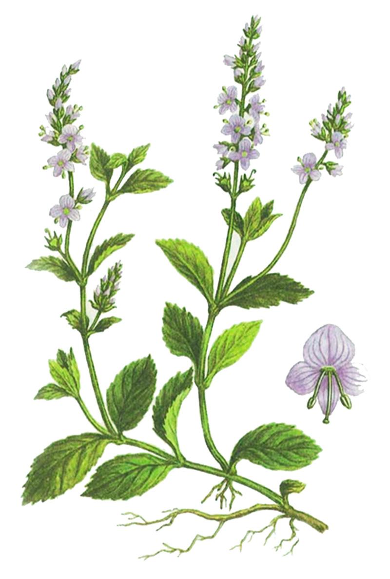 Вероника лекарственная (лат. Verónica officinalis)