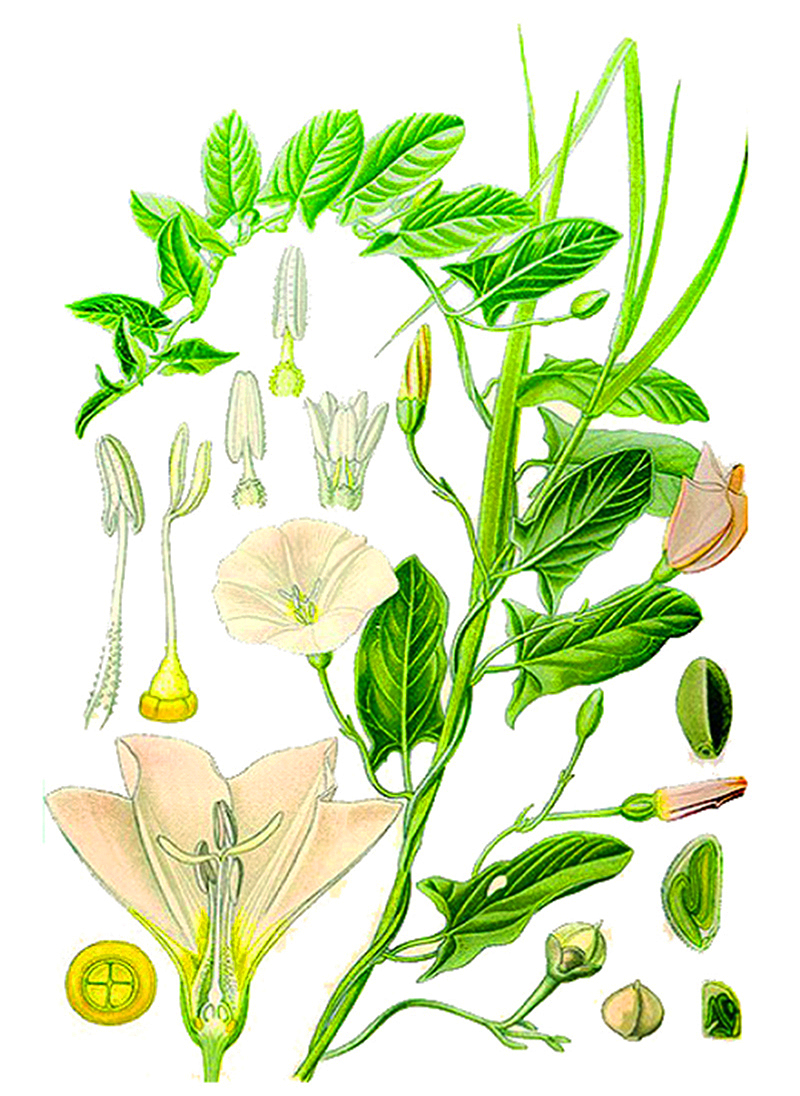 Вьюнок полевой (лат. Convōlvulus arvēnsis)