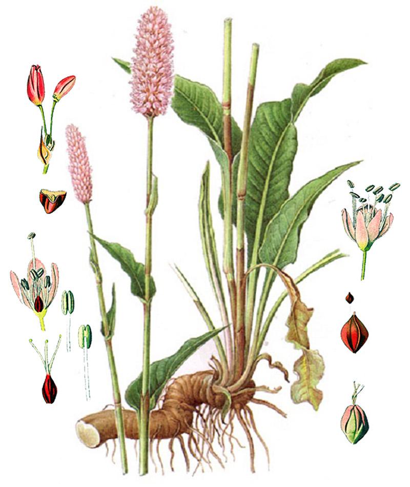 Горец змеиный (лат. Bistorta officinalis)