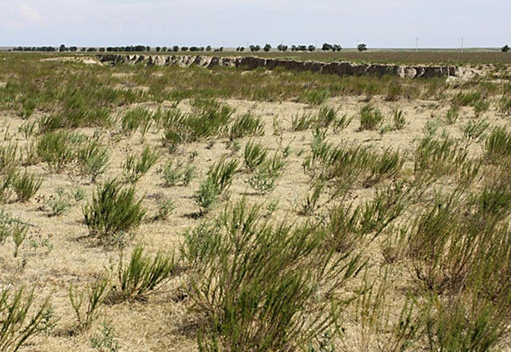 Дармина или полынь цитварная (лат. Artemisia cina)
