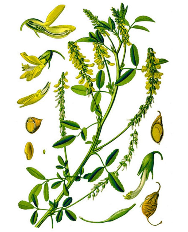 Донник лекарственный (лат. Melilótus officinális)