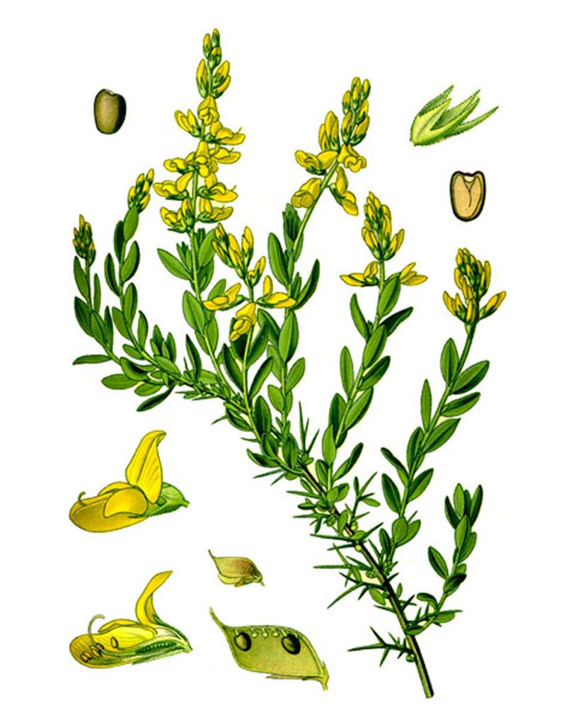 Дрок красильный (лат. Genīsta tinctōria)