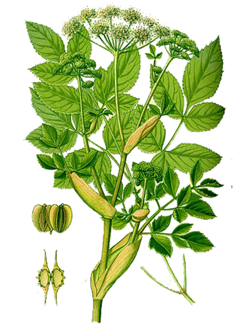 Дудник, или дягиль лесной (лат. Angélica sylveśtris)