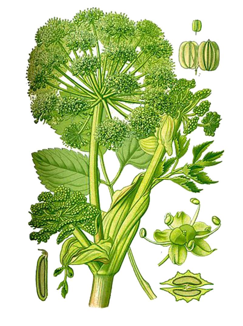 Дягиль, или дудник лекарственный (лат. Archangélica officinális)