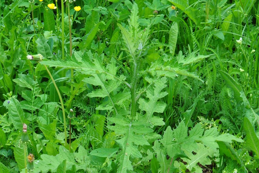 Чертополох курчавый (лат. Carduus crispus)