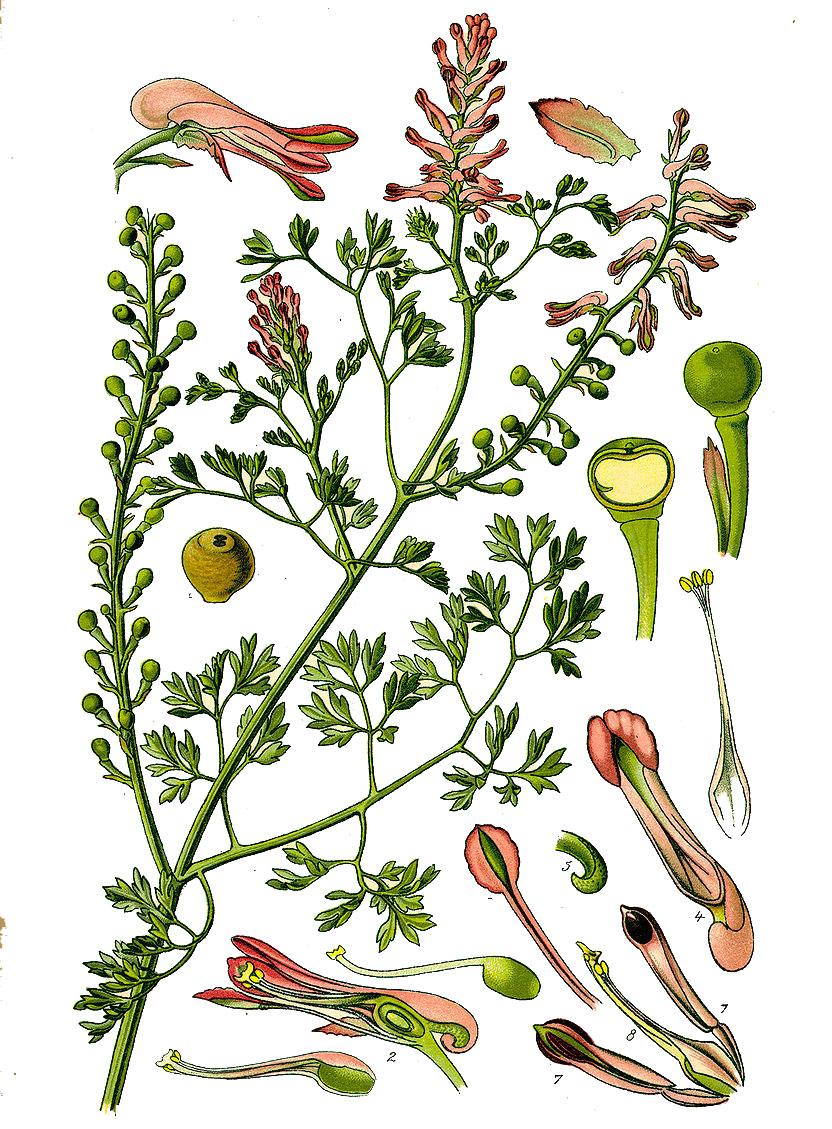 Дымянка аптечная или дикая рута (лат. Fumária officinális)