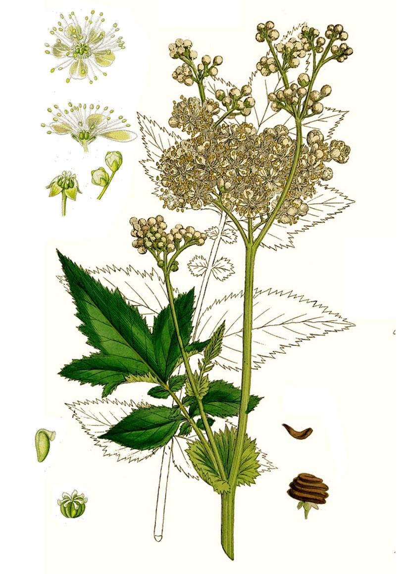 Таволга или Лабазник вязолистный (лат. Filipéndula ulmária)