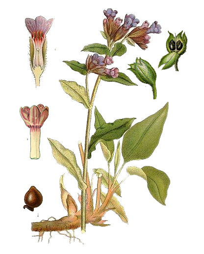 Медуница лекарственная (лат. Pulmonaria officinalis)
