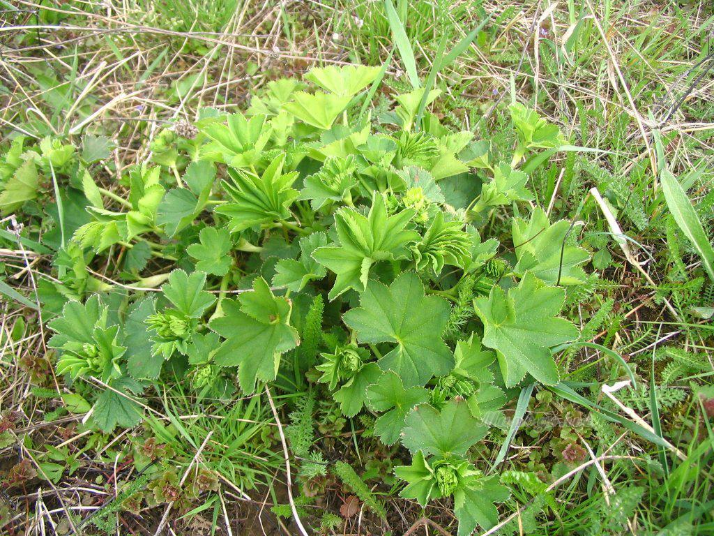 Манжетка обыкновенная (лат. Alchemilla vulgaris)