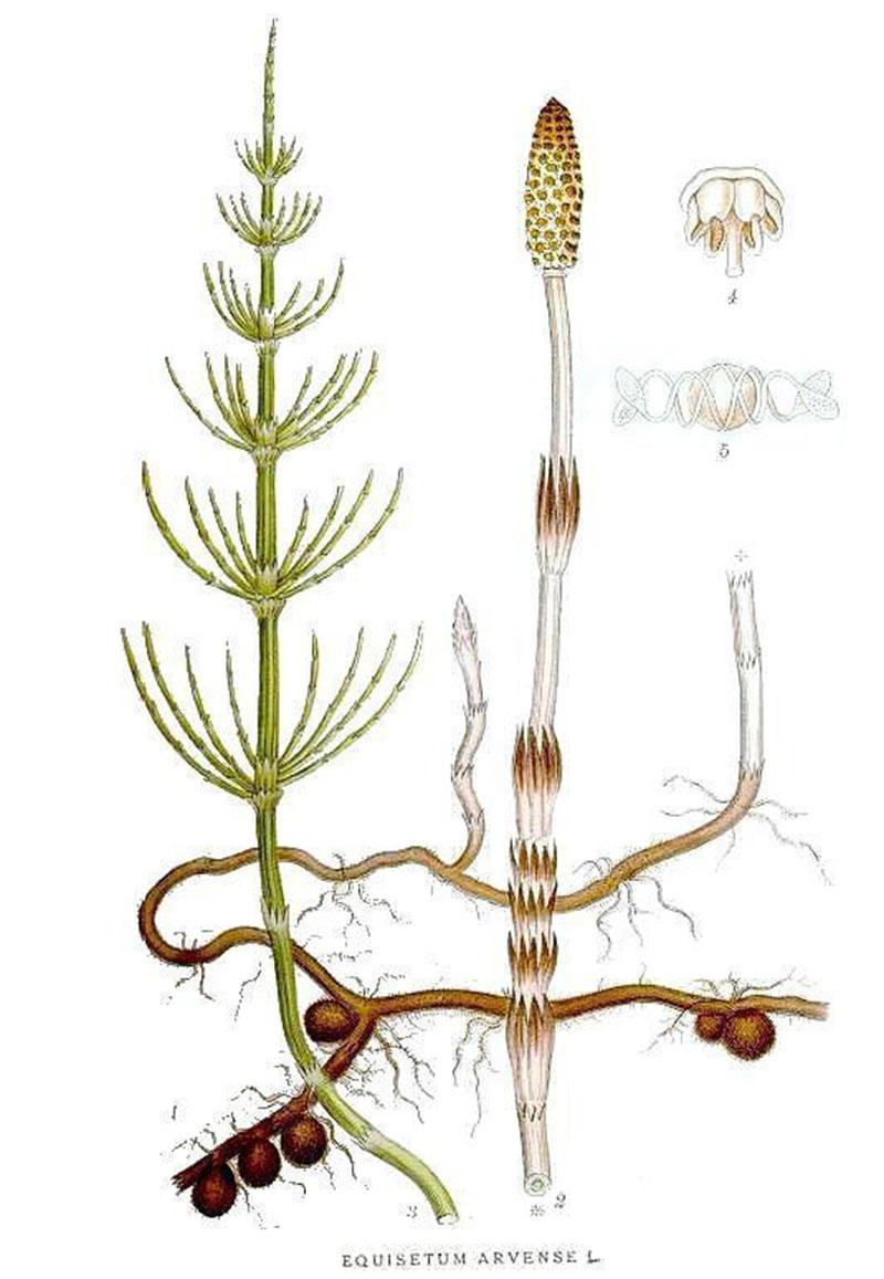 Хвощ полевой (лат. Equisétum arvénse)