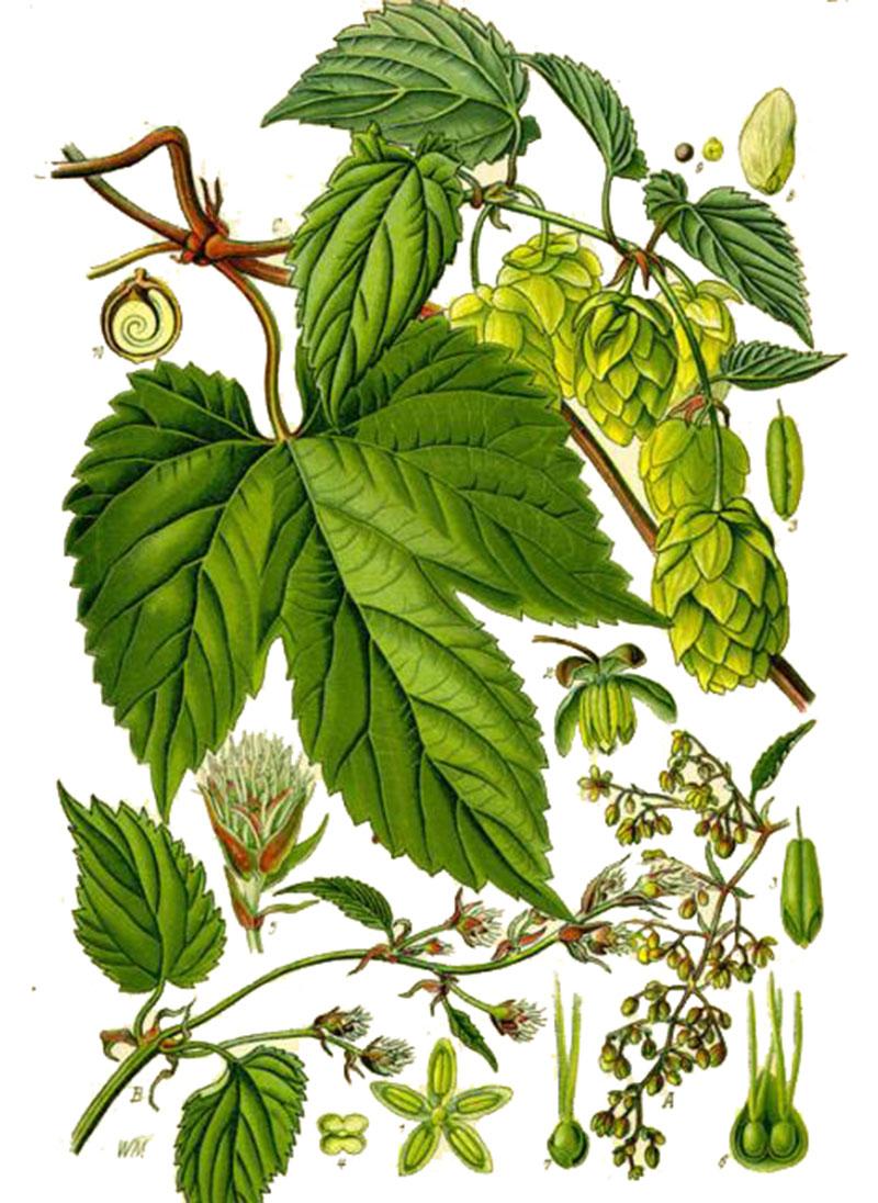 Хмель обыкновенный (лат. Húmulus lúpulus)