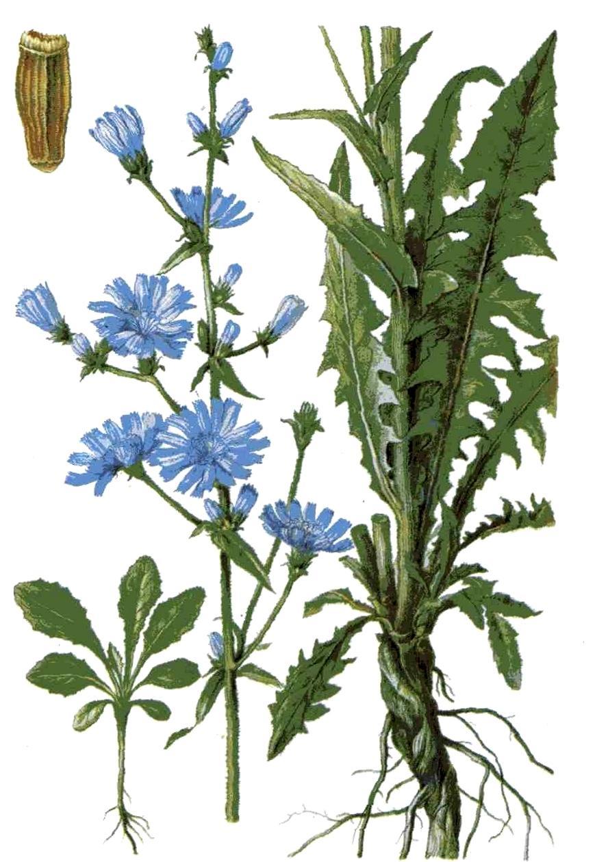Цикорий обыкновенный (лат. Cichórium íntybus)