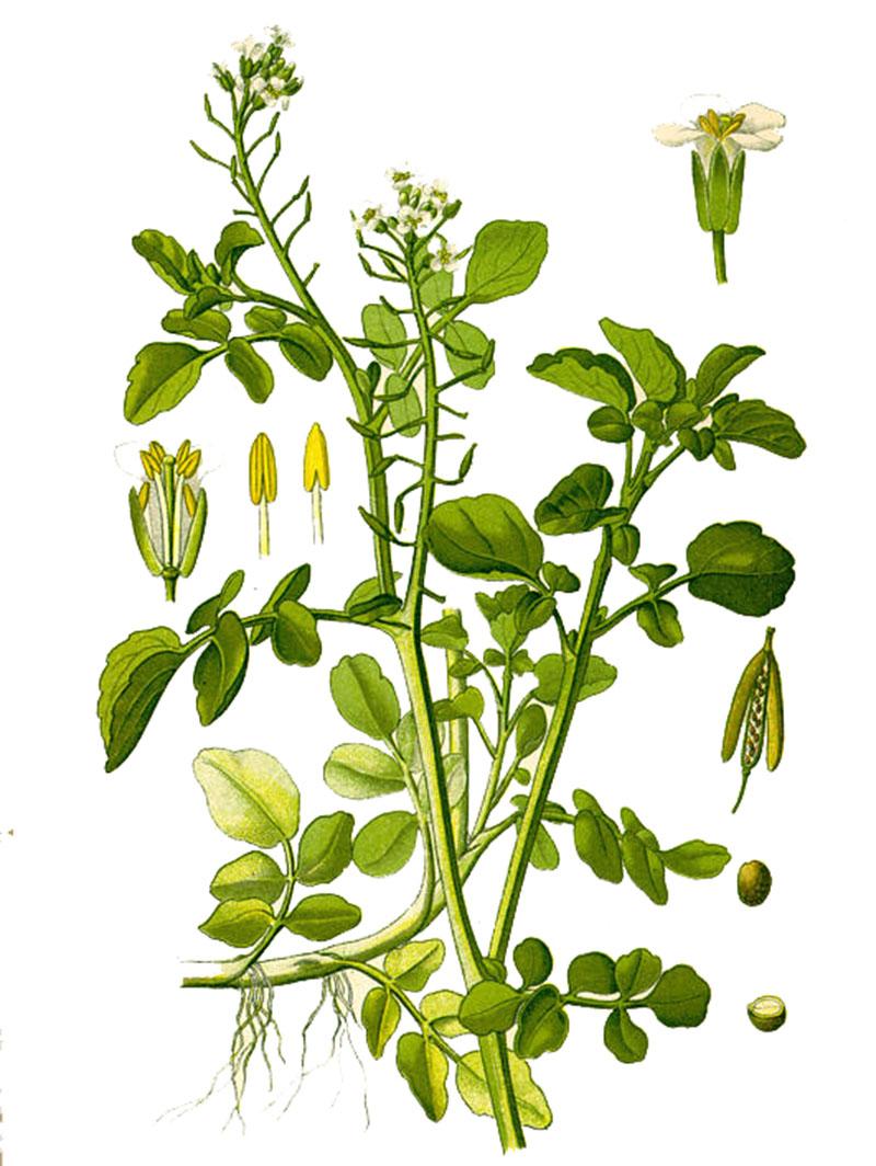 Жеруха лекарственная, или Водяной кресс (лат. Nastúrtium officinále)