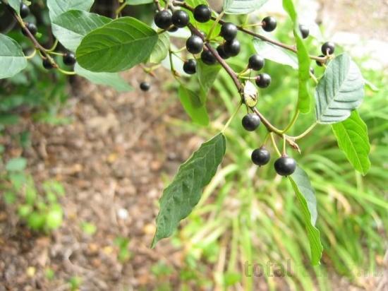Крушина слабительная (лат. Rhamnus cathartica)