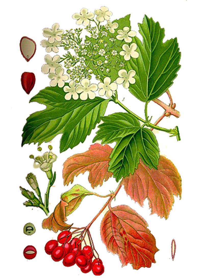 Калина обыкновенная (лат. Vibúrnum ópulus)