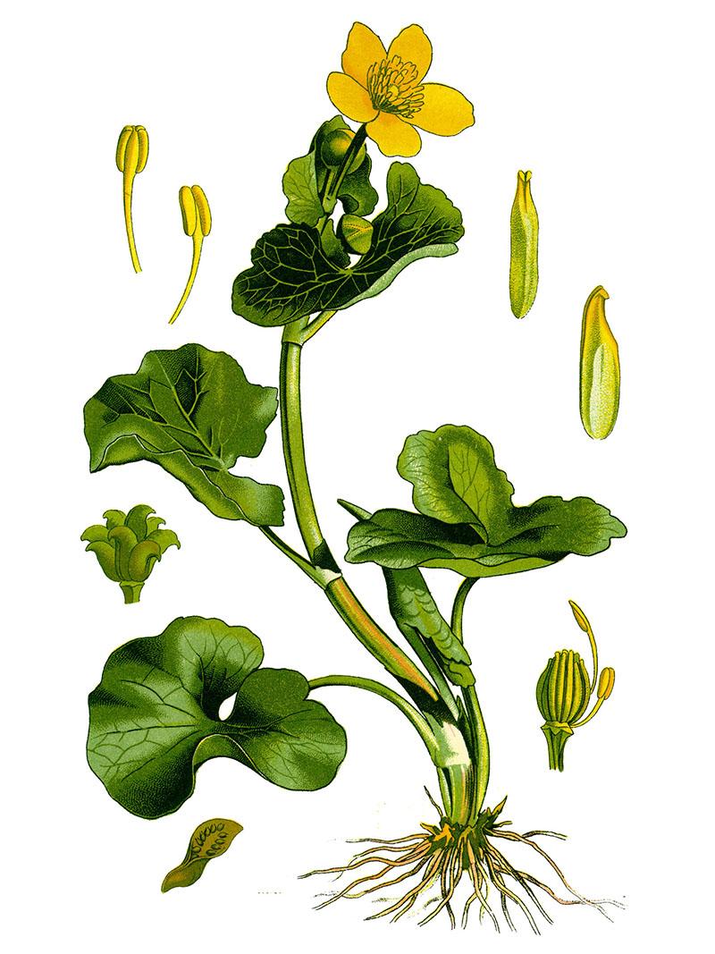 Калужница болотная (лат. Cáltha palústris)