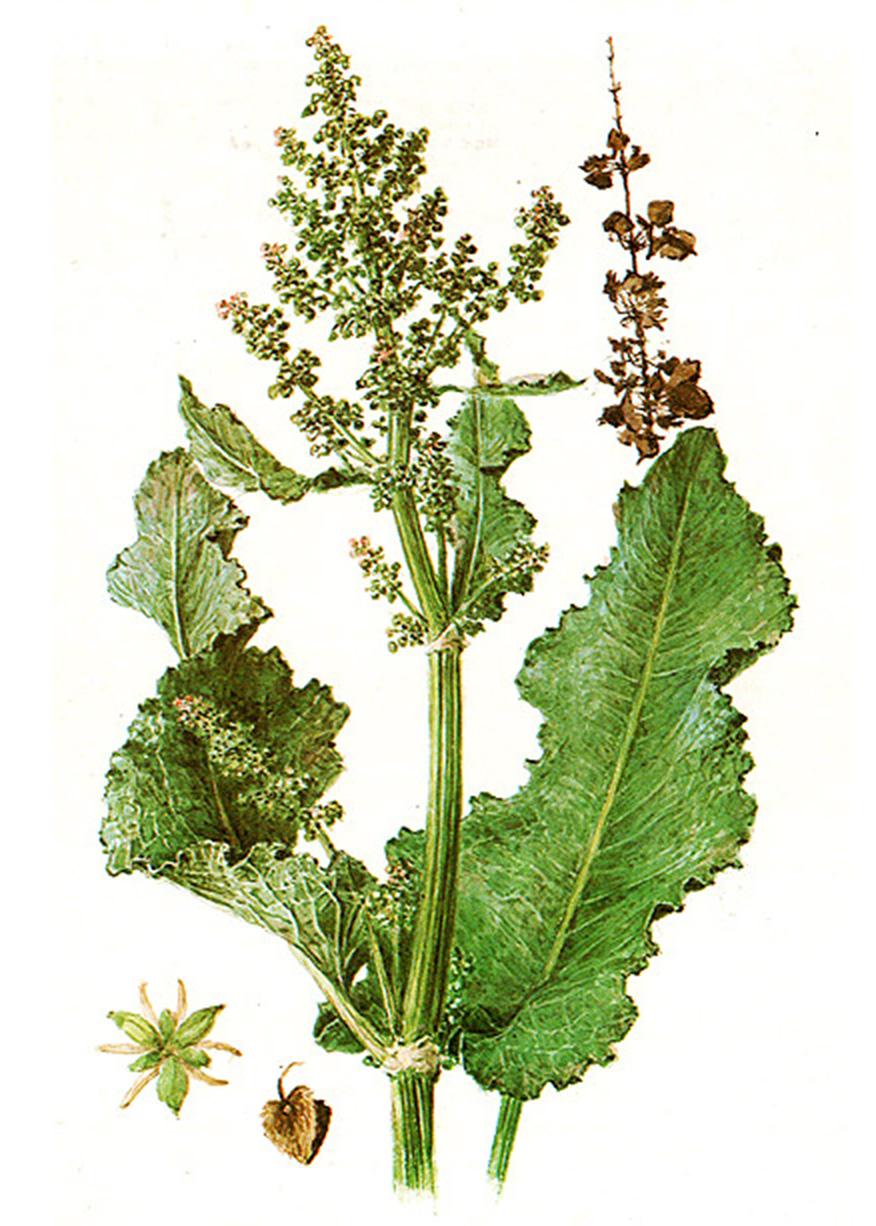 Щавель конский (лат. Rúmex confértus)