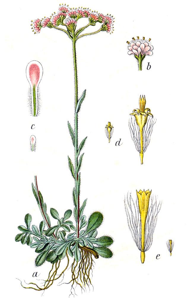 Кошачья лапка (лат. Antennária dióica)