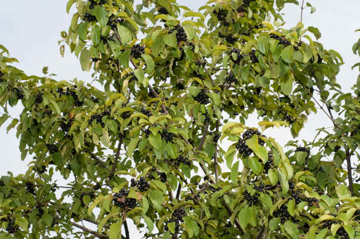 Крушина ломкая (лат. Frángula álnus)