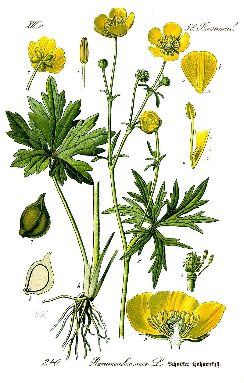 Лютик едкий (лат. Ranúnculus ácris)