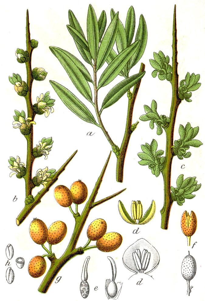 Облепиха крушиновидная (лат. Hippóphae rhamnoídes)