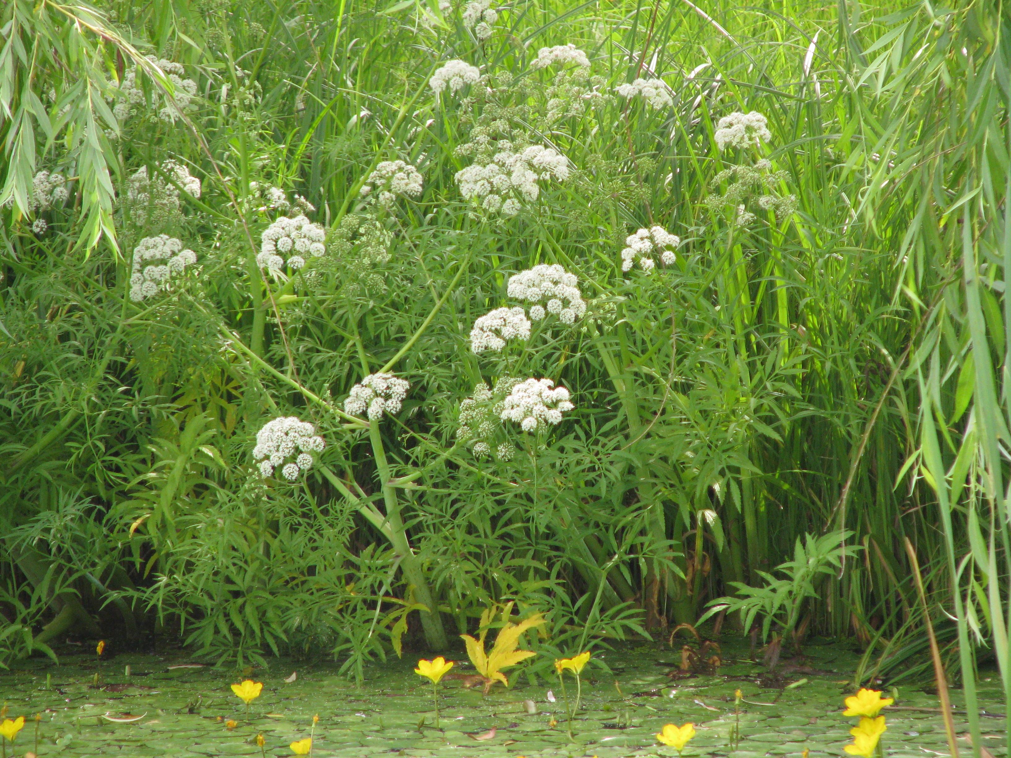 Омежник водяной (лат. Oenanthe aquatica)