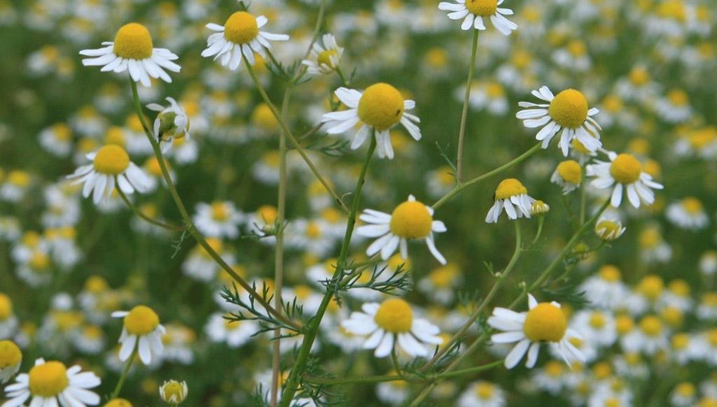 Ромашка аптечная (лат. Matricāria chamomīlla)