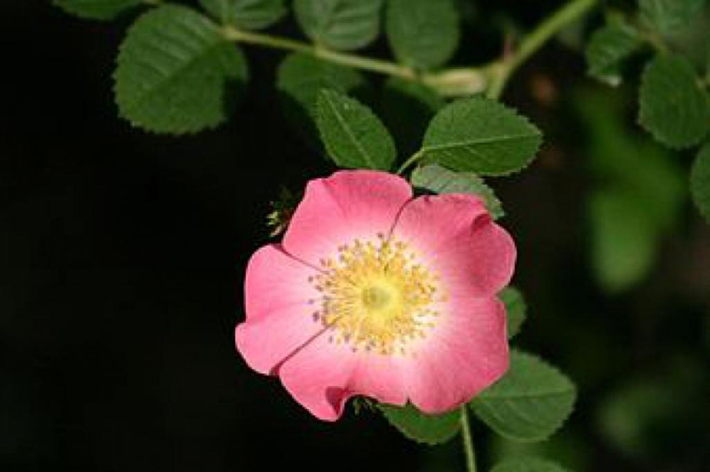 Шиповник красно-бурый (лат. Rosa rubiginosa)