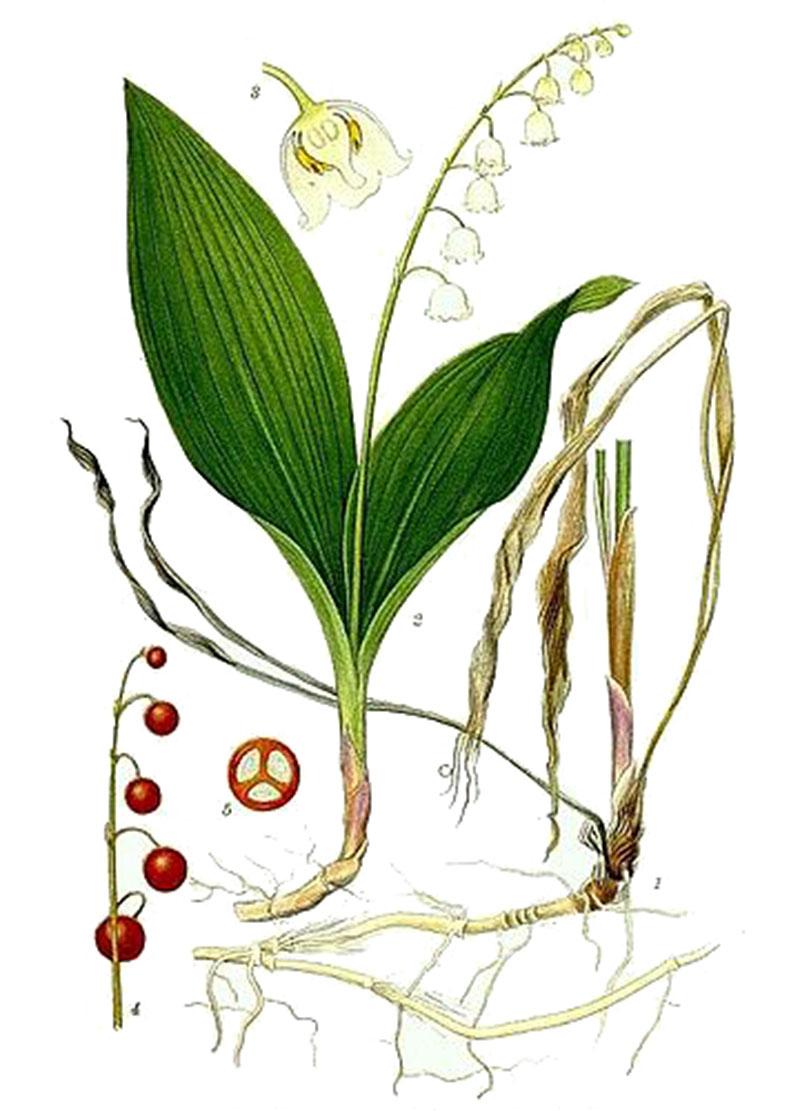Ландыш майский (лат. Convallária majális)