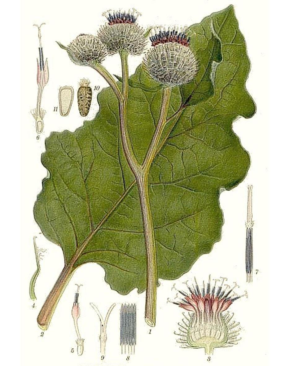 Лопух войлочный (лат. Ārctium tomentōsum)