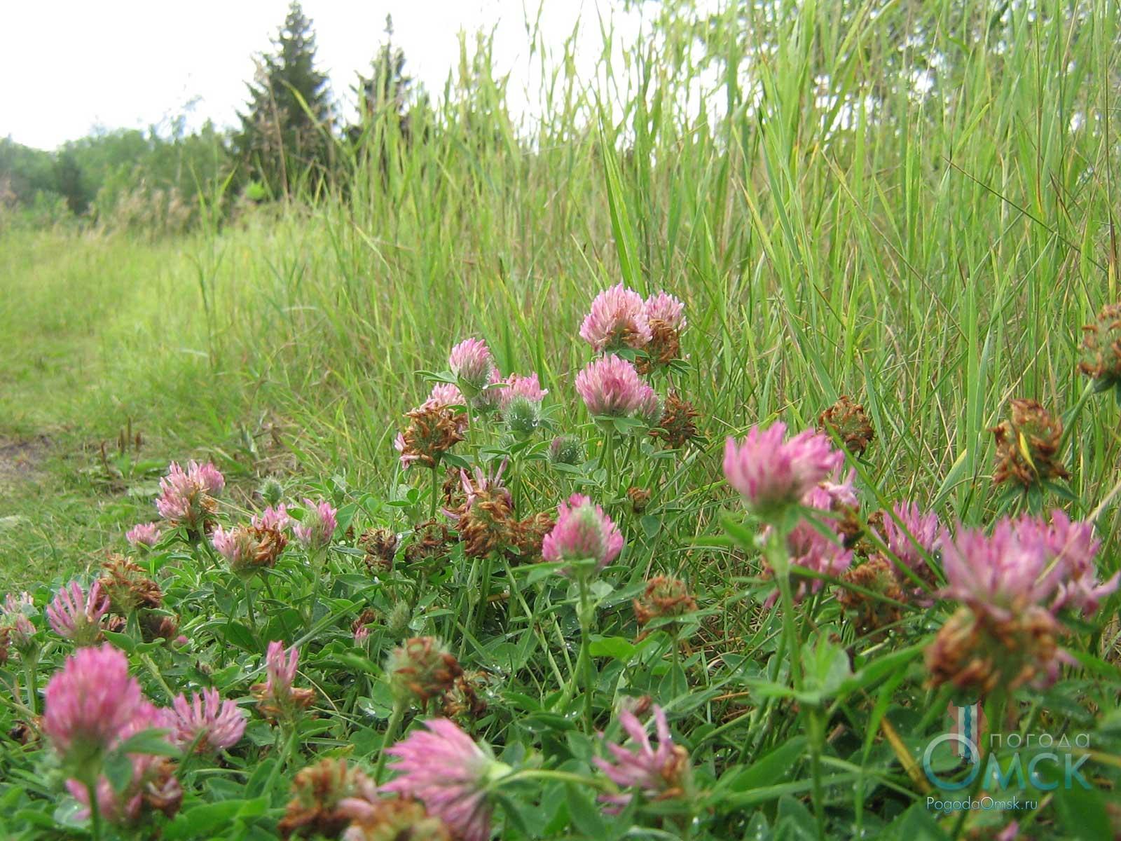 Клевер луговой (лат. Trifolium praténse)