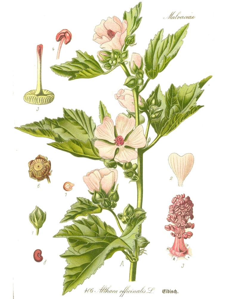 Алтей лекарственный (лат. Althaéa officinális)