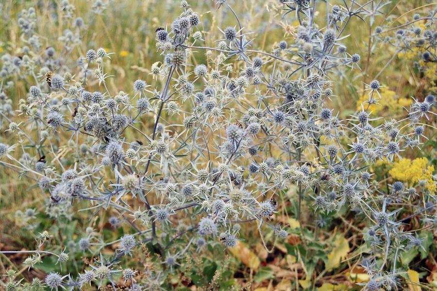 Синеголовник плосколистный (лат. Eryngium planum)