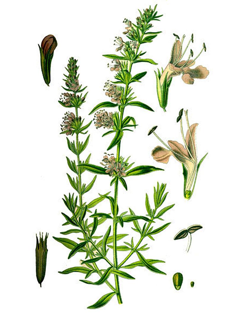 Иссоп лекарственный (лат. Hyssópus officinális)