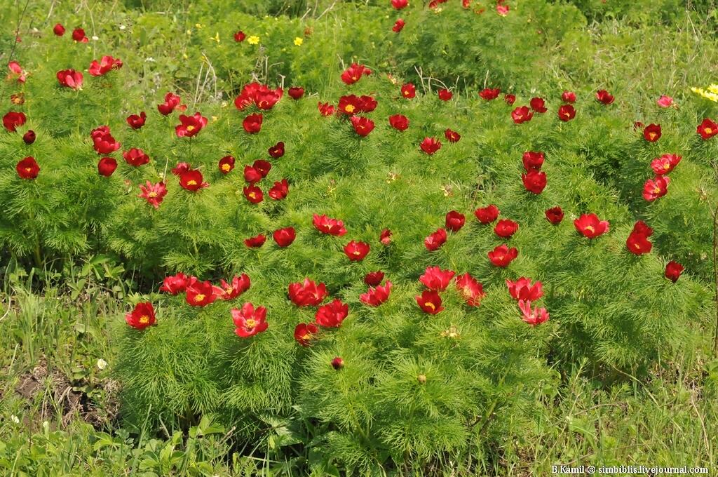 Пион узколистный (лат. Paeonia tenuifolia)