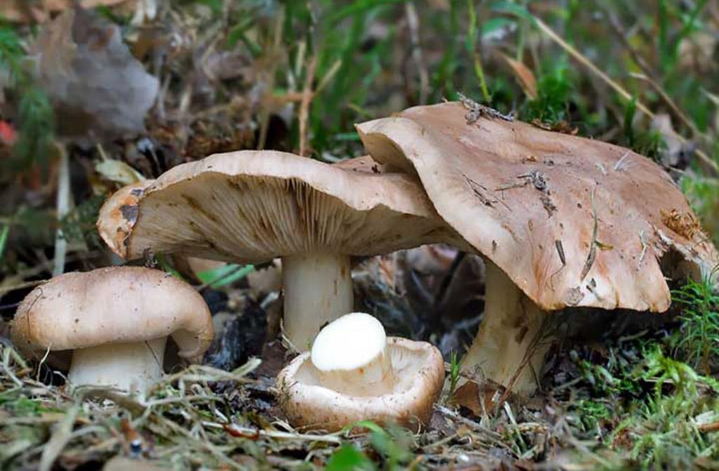 Рядовка тополёвая, или песочник (Tricholoma populinum)