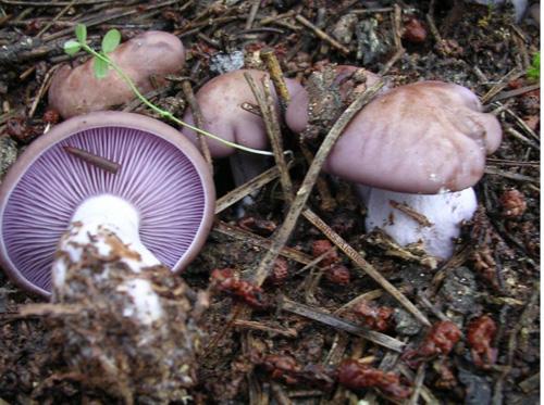 Рядовка фиолетовая (Lepista nuda)