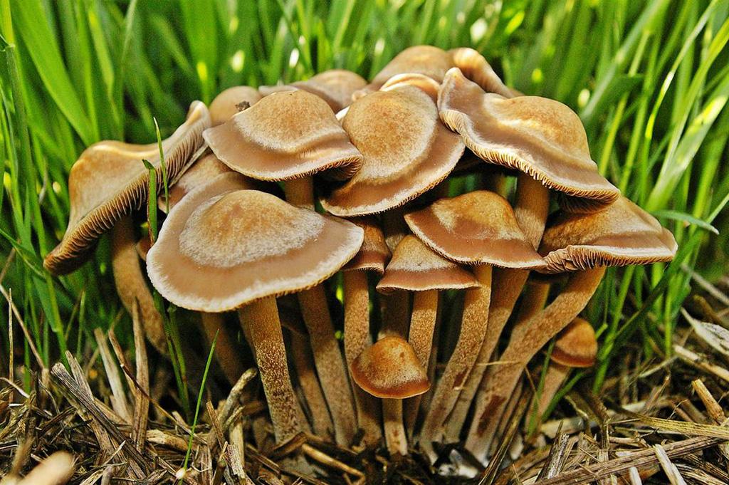 Панеолус каемчатый (Panaeolus cinctulus)