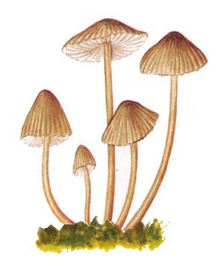 Псилоцибе полуланцетовидная (Psilocybe semilanceata)