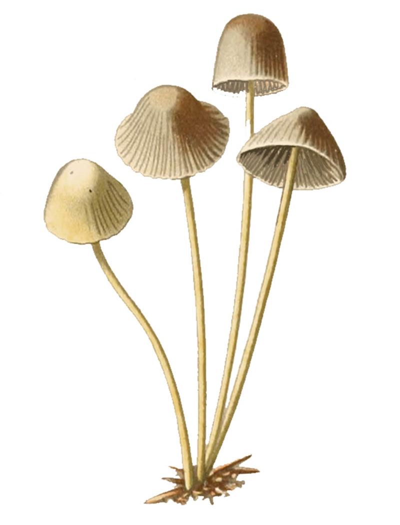 Панеолус колокольчатый (Panaeolus campanulatus)