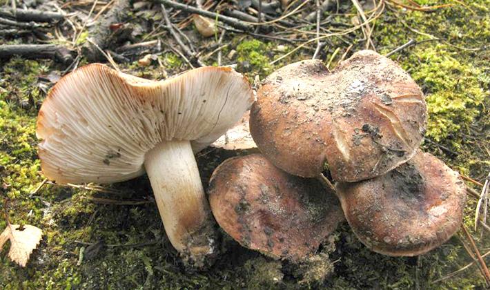 Рядовка коричневая, или бело-коричневая (Tricholoma albobrunneum)