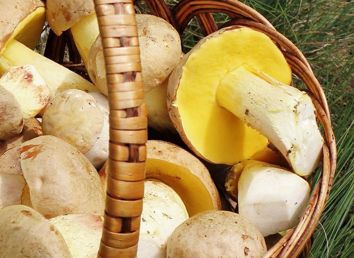 Полубелый гриб, или боровик желтый (лат. Boletus impolitus)
