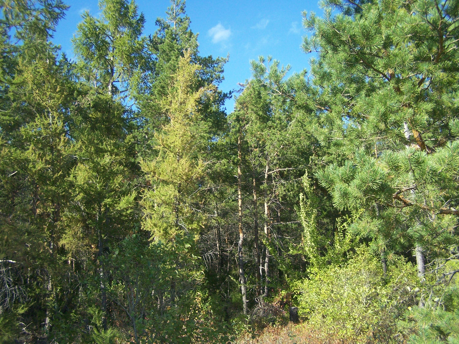 Сухокарабулакские лиственничные лесопосадки