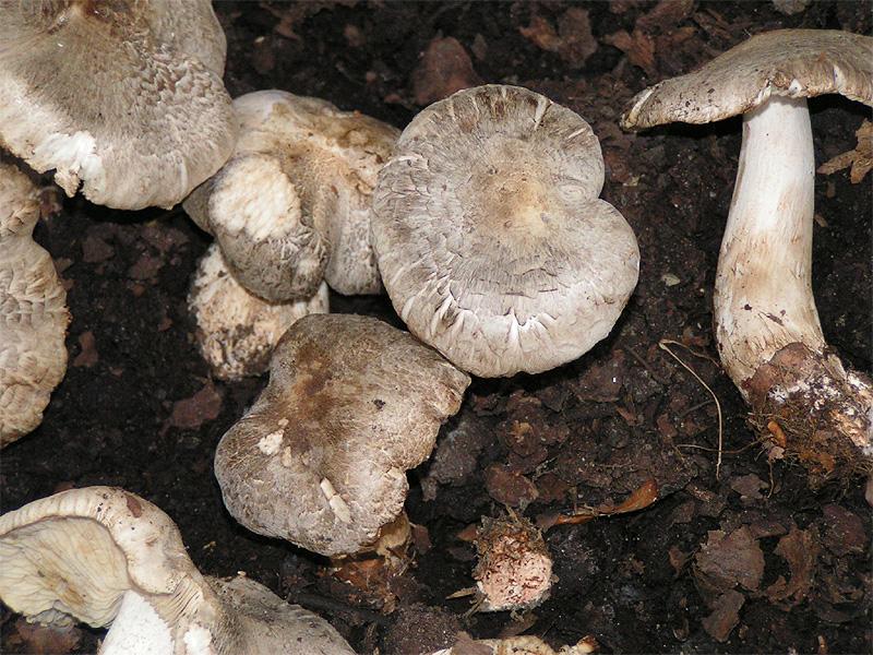 Рядовка тигровая (Tricholoma pardinum)