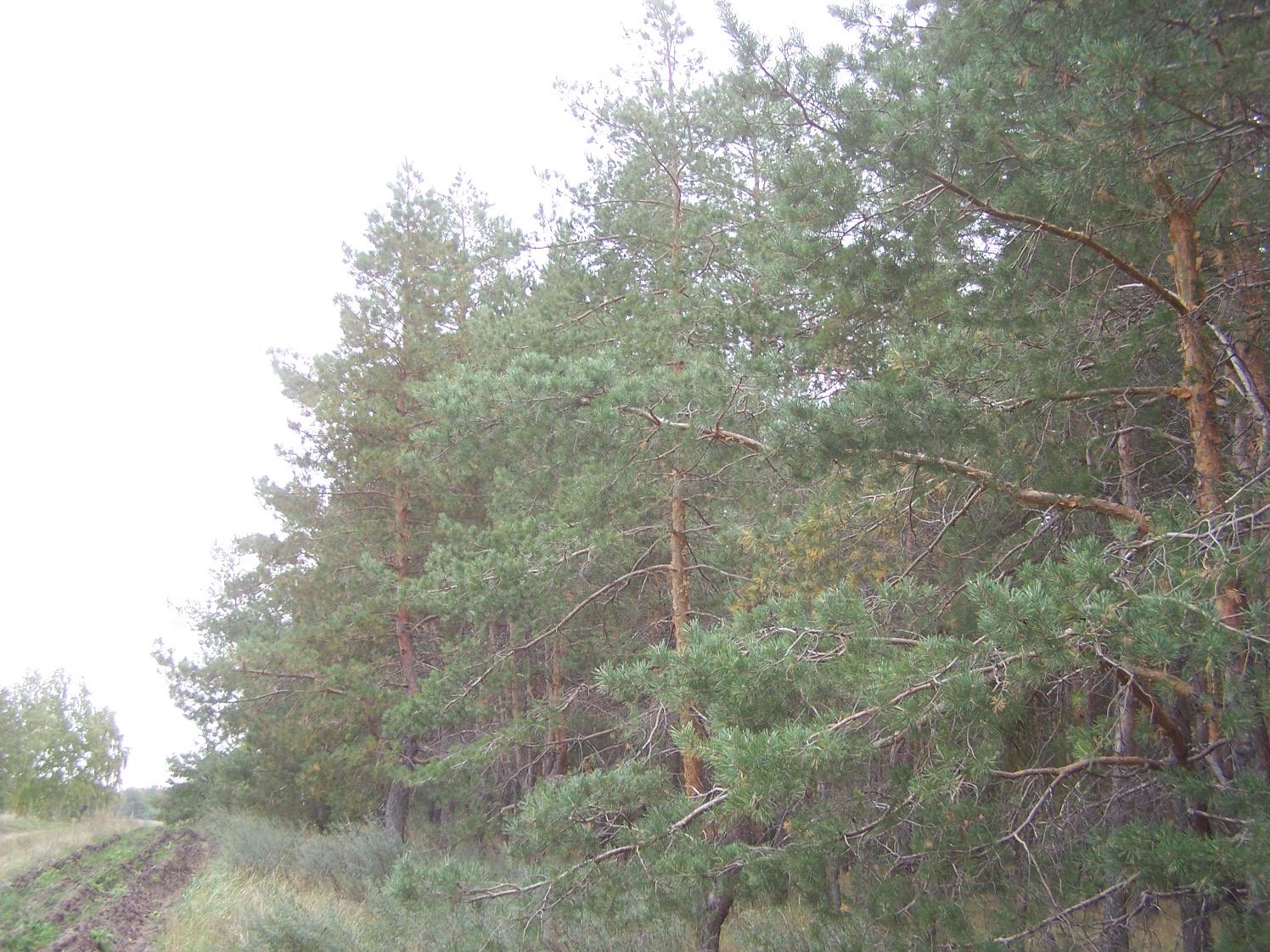 Сосновые посадки у дороги