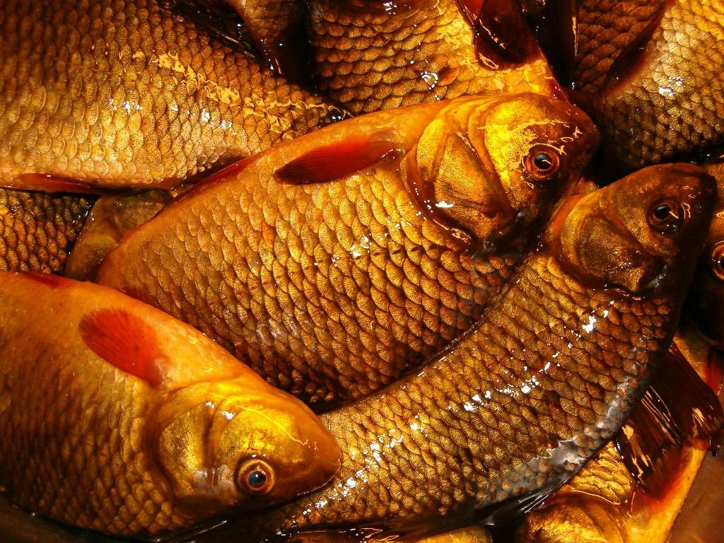 Карась золотой (лат. Carassius carassius)